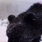 VIDEO: Cum arată urșii pe care dorește ministrul Mediului să îi ucidă