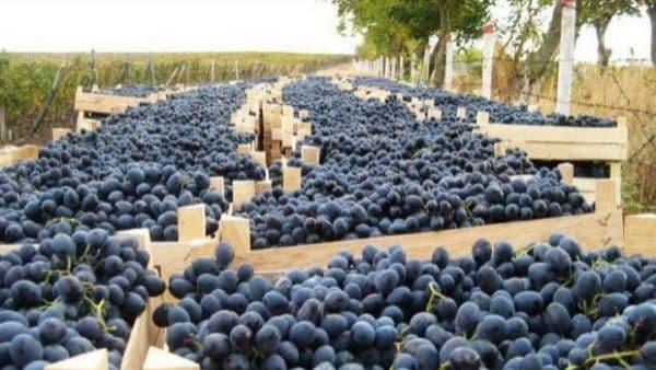 Tone de prune din R. Moldova, distruse de ruși