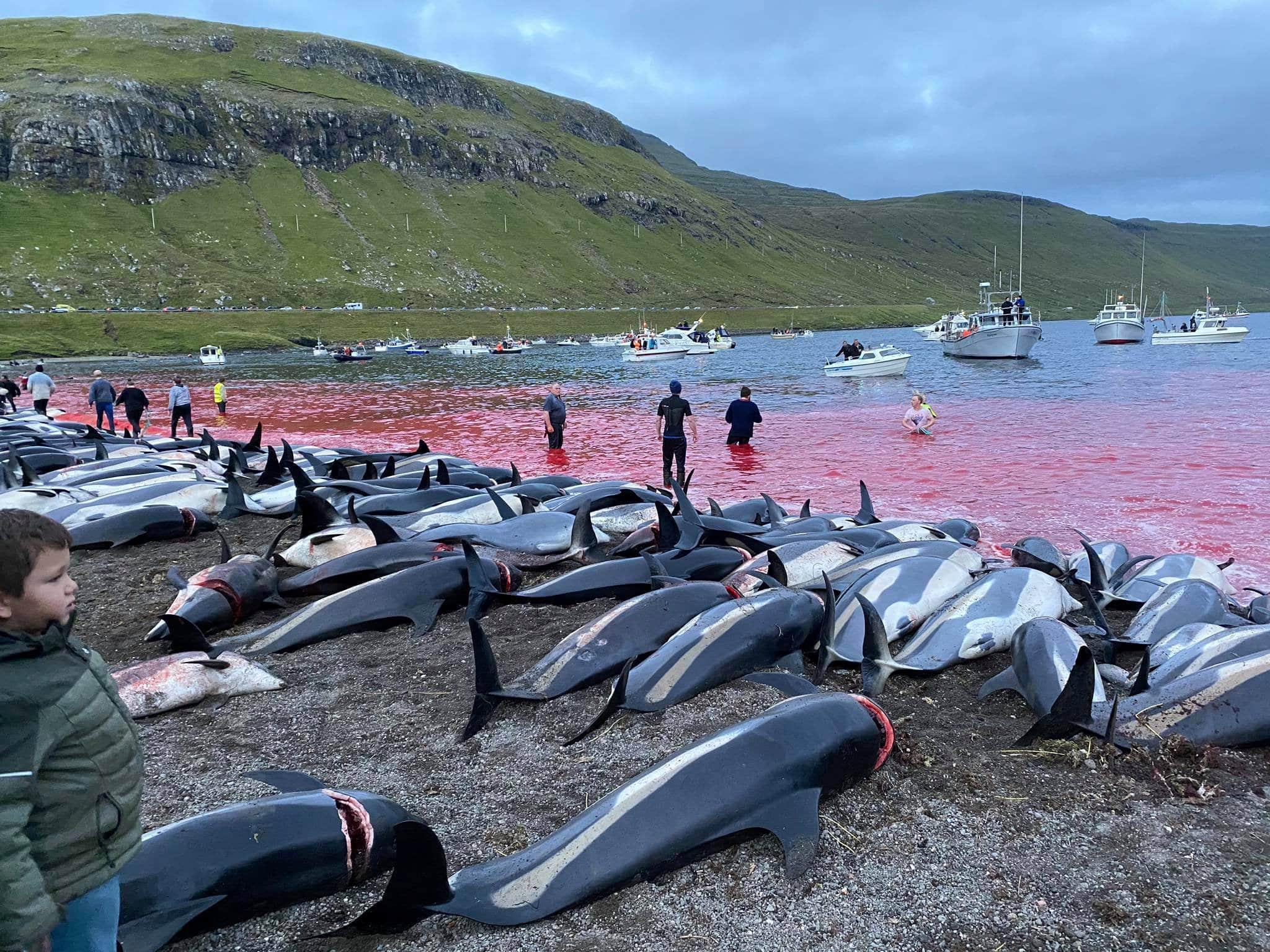 Revoltător! Peste 1.400 de delfini au fost uciși în Insulele Feroe – 60m.ro