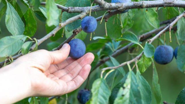 Ce tratamente se fac la pruni după recoltarea fructelor!