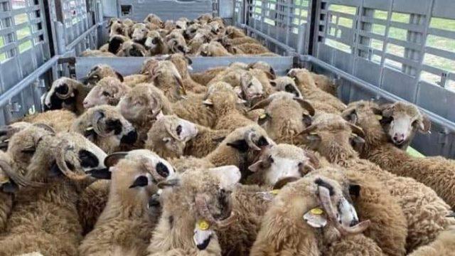 Exportul de animale vii din România ar putea fi interzis